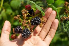 Big ripe Blackberries in a hand Royalty Free Stock Photography