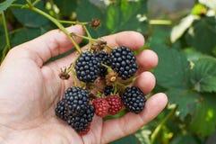 Big ripe Blackberries in a hand Stock Image