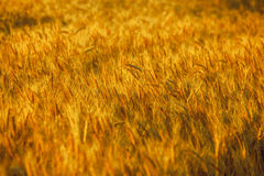 Big ripe field, yellow, wheat at sunset. The harvest . Royalty Free Stock Photo