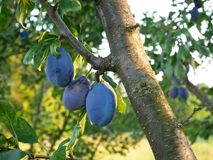Big ripe plum fruits on a branch Royalty Free Stock Photos