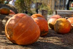 Big ripe pumpkins Stock Photography