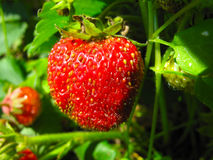 Big ripe strawberry in the garden. Red big strawberries, garden, green leaves stock photos
