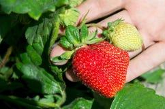 Big ripe strawberry on the hand Stock Image
