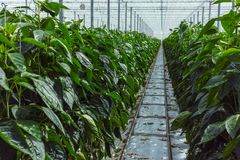 Big ripe sweet green bell peppers, paprika, growing in glass gre. Enhouse, bio farming in the Netherlands Royalty Free Stock Photography