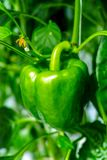Big ripe sweet green bell peppers, paprika, growing in glass gre. Enhouse, bio farming in the Netherlands Stock Photography