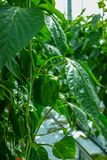 Big ripe sweet green bell peppers, paprika, growing in glass gre. Enhouse, bio farming in the Netherlands Royalty Free Stock Photo