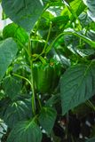 Big ripe sweet green bell peppers, paprika, growing in glass gre. Enhouse, bio farming in the Netherlands Stock Photo