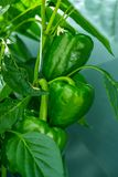Big ripe sweet green bell peppers, paprika, growing in glass greenhouse, bio farming in the Netherlands stock photos