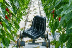 Big ripe sweet green bell peppers, paprika, growing in glass gre. Enhouse, bio farming in the Netherlands Stock Images