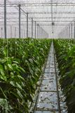 Big ripe sweet green bell peppers, paprika, growing in glass gre. Enhouse, bio farming in the Netherlands Stock Image