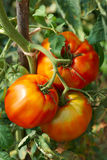 Big ripe tomatoes Royalty Free Stock Photo