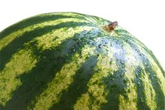 Big ripe watermelon with water drops. Royalty Free Stock Image