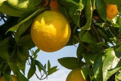 Big ripening orange citrus fruit on orange tree in orchard. In Italy royalty free stock images