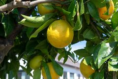 Big ripening orange citrus fruit on orange tree in orchard. In Italy stock image