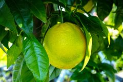 Big ripening orange citrus fruit on orange tree in orchard. In Holland royalty free stock images