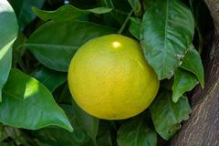 Big ripening orange citrus fruit on orange tree in orchard. In Holland royalty free stock photos