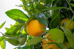 Big ripening orange citrus fruit on orange tree in orchard. In Holland stock images