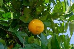 Big ripening orange citrus fruit on orange tree in orchard. S stock photo