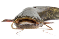 Big river catfish Royalty Free Stock Photos