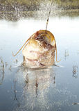 Big river catfish Royalty Free Stock Images