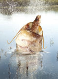 Big river catfish Stock Photos