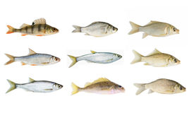 Big river fish collection isolated stock photo