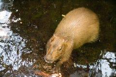 Big rodent Stock Photos