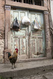 Big rooster Stock Images