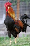 Big rooster in the grass Royalty Free Stock Images