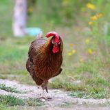 Big rooster running towards the camera Stock Image
