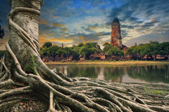 Big root of banyan tree land scape of ancient and old  pagoda in Royalty Free Stock Photos