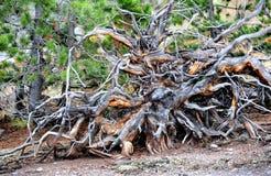 Big Root System Stock Photos