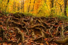 Big roots above the surface. Close-up of big curvy roots of pine in autumn forest Stock Photography