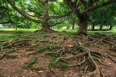 Big roots above the surface Stock Images