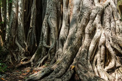 Big roots above the surface Stock Photography