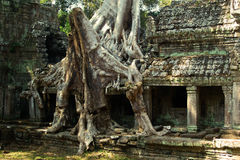 Banyan tree roots at Angkor Wat. Big roots of a banyan tree roots  in the temple of Angkor Wat Stock Photos