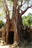 Banyan tree in Angkor Wat. Big roots of a banyan tree roots  in the Ta Som temple of Angkor Wat Royalty Free Stock Image