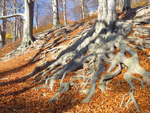 Big roots in autumn Royalty Free Stock Images