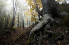 Big roots in magical enchanted forest with fog Stock Photography