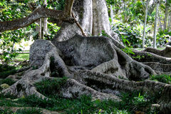 Big roots of an old tree. Details of an old tree with huge roots Stock Images