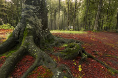 Big roots and red leaves into the forest Stock Photography