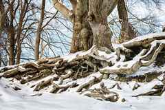 Big with roots in winter with snow Royalty Free Stock Photos