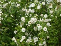 Big rose bush with white blossom royalty free stock photo