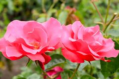 Big rose in the gardens of the squares. Rose in the green garden, sunny day royalty free stock photos