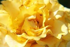 Big rose Royalty Free Stock Photo