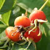 Big Rosehip Royalty Free Stock Images