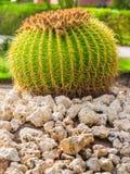 Big round cactus. Large round cactus on the white stone ground Royalty Free Stock Images