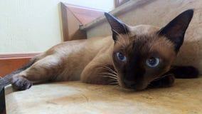 Big round eyes of Siamese cat falling to sleep Stock Photo
