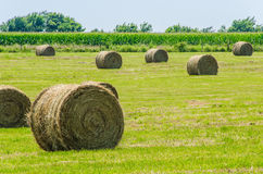 Big round hay bails with corn. Golden round hay bails waiting to be taken to the farm with Corn stalks growing in the background royalty free stock photos