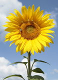 Big round opened flower racemes sunflower yellow petals against. The blue sky Royalty Free Stock Photography
